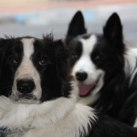De Border Collie is een middelgrote herdershond