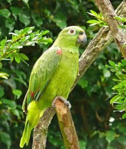 De Amazonepapegaai is een van de bekendste papegaaien die er zijn. Hij is heel makkelijk te trainen en erg intelligent.