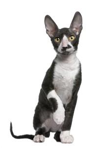 Als u allergisch bent voor katten is het mogelijk dat uv an de Cornish Rex geen last heeft. © lifeonwhite.com