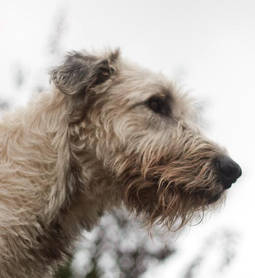 Ierse Wolfshonden zijn echte familiehonden en hechten zich erg aan hun baasje.© Paul Plummer, op Flickr. Licensie: Creative Commons BY 2.0