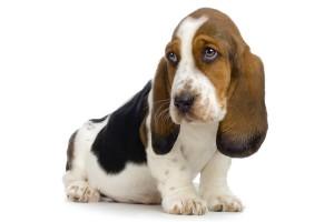 Het hondenras Basset Artésien is een Frans laagbenig hondenras die als drijfhond gebruikt wordt.©www.isselee.com