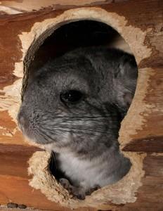 Als de chinchilla zich niet veilig voelt, trekt de chinchilla zich terug. ©tanatany - Fotolia