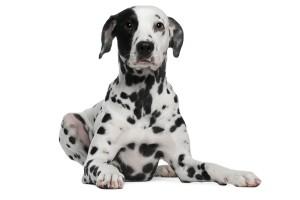 Dalmatiërs zijn opvallende honden.©lifeonwhite.com