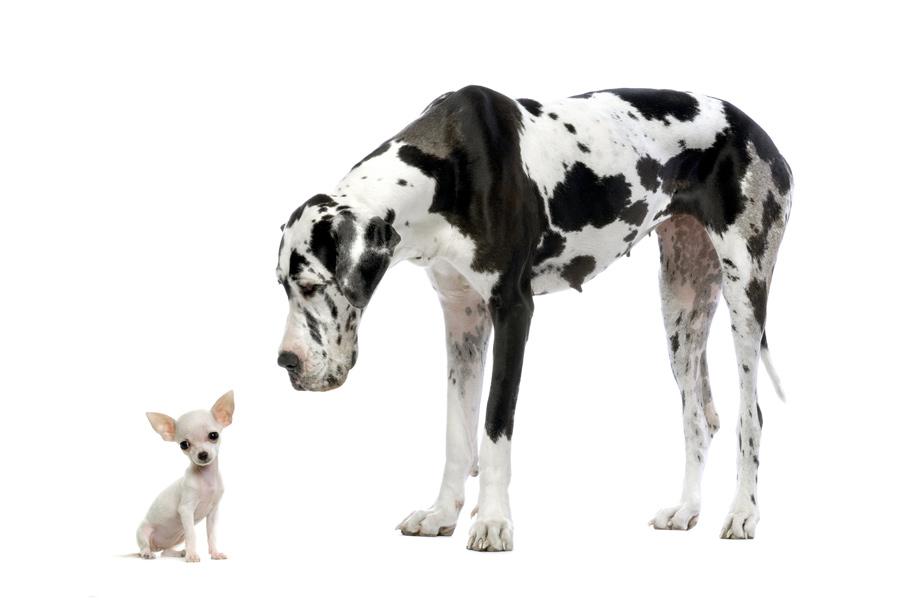 Deense dog met een chiuahua