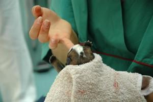 De dierenarts helpt de drachtige hond met bevallen.©Pilipipa - Fotolia