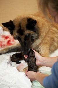 Verliest je hond vruchtwater? Net als bij een mens betekent dit het begin van de bevalling van je hond!©foto ARts - Fotolia