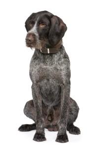 De Duitse staander is zoals de naam al zegt een hond die blijft staan zodra zij het wild gevonden hebben. ©lifeonwhite.com