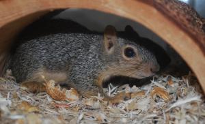 Niet alle soorten eekhoorns mag je als huisdier houden.©Josh Henderson, op Flickr. Licensie: Creative Commons BY-SA 2.0