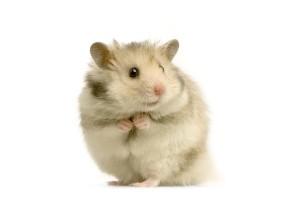 Foto Hamster voor dierenarts-dierenkliniek