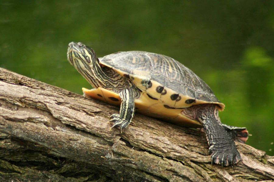 Landschildpad op boomstronk © Bettina Kufl - Fotolia