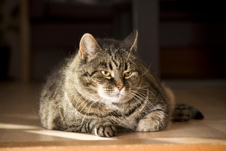 Kat met overgewicht na castratie of sterilisatie