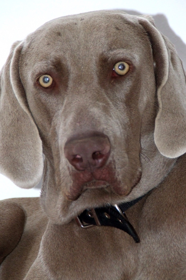 Illustratieve foto van de hond, hondenras is labrador