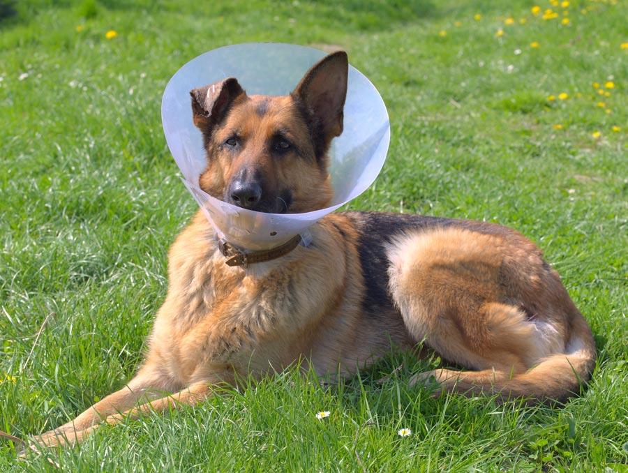 Een rompertje of lampenkap voorkomt dat uw hond na sterilisatie of castratie steeds aan de wond zit.©Krzysztof Mandrysz - Fotolia