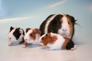 Een moedercavia met drie van haar jongen