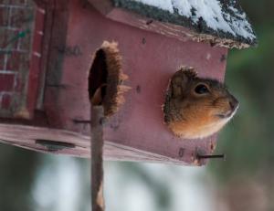 Omdat eekhoorns niet zindelijk zijn moet je zijn nest regelmatig schoonmaken.©Dawn Huczek, op Flickr. Licensie: Creative Commons BY 2.0