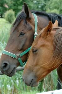 Twee paarden in de wei © wierzbik - Fotolia
