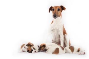 Haal de puppies niet allemaal tegelijk weg bij de moederhond. Laat haar langzaam wennen aan het idee dat haar kinderen weggaan.©Dominic Ziegler - Fotolia