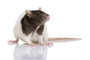 Ratten zijn echte groepsdieren en als u ratten wilt houden moet u tenminste zorgen dat ratten met zijn tweeen zijn.©Lifeonwhite.com