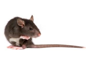 Schaft u ratten aan, doe dit dan bij een zogenaamde rattenfokkerij: rattery.©