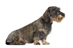 De Teckel wordt vooral gebruikt als aardhond. Omdat hij zo klein is kan hij goed in holen kruipen.©lifeonwhite.com
