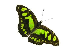 Vlinder in volière