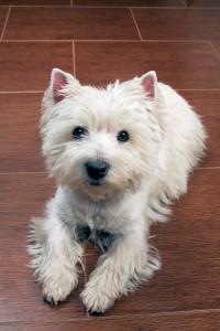 West Highland White Terrier is vanwege zijn grootte ideaal om te jagen op konijnen omdat de Westie het konijn kon achtervolgen in zijn hol ©Ingo Bartussek - Fotolia
