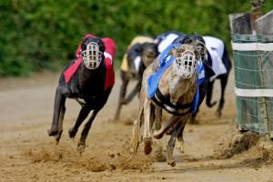 Windhonden staan bekend om hun snelheid en komen heden vooral voor bij hondenraces.©