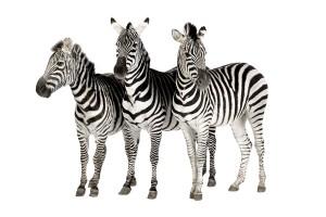 Zebra's behoren net als paarden tot de familie van de paardachtigen die weer tot de orde der onevenhoevigen die tot de orde der hoefachtigen behoort.©www.isselee.com