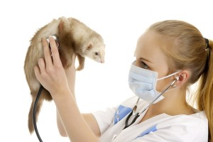 Bezoek een dierenarts die veel weet van fretten als uw fret ziek is.©Vladislav Pavlovich - Fotolia